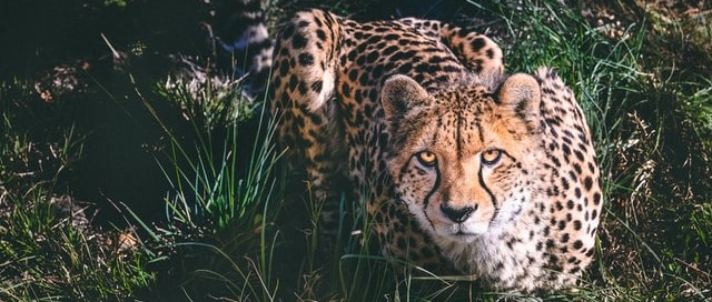 Cheetah crouched in grass
