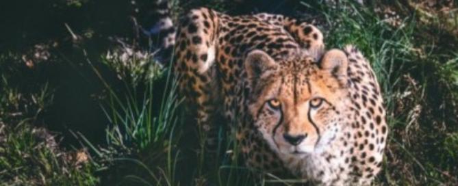 cheetah crouching in grass